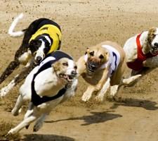 Greyhound Racing Stag Do